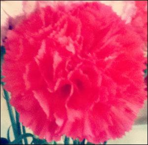 pink carnation used as clairvoyance meditation object