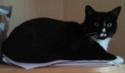 black and white cat, alert
