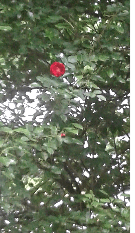 psychic appreciation through a rose