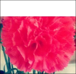 pink carnation with the top fifth removed
